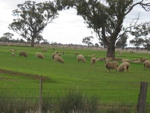 """Avenham"" Cropping/Grazing (919 acres, 372 ha) - Moama"