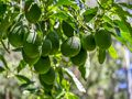 High Performance Avocado Farm - Kyogle