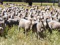 770 Pick of 820 Merino Ewes - Molong