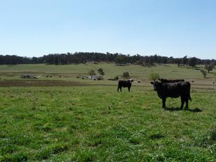 Eastern New England Cattle Breeding and Fattening - Glen Innes