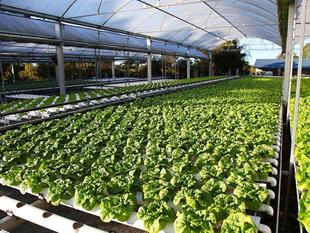Business For Sale - Hydroponic Lettuce Farm - Morayfield