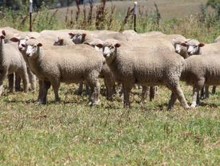 282 Mixed Sex Store Lambs - Tingha