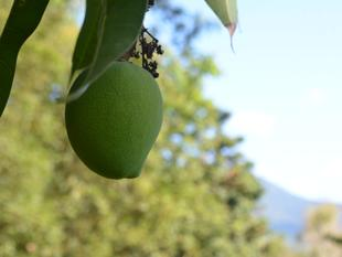 Pick Your Own Bowen Mango On X'mas Day - Gordonvale
