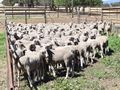 161 Mixed Sex Store Lambs - Grenfell